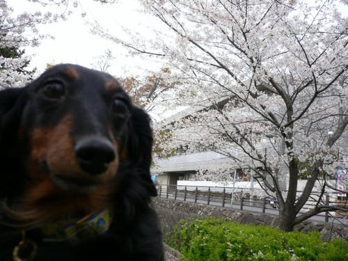 桜とノエル